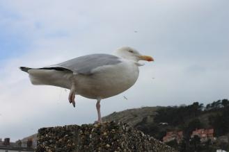 Llandudno - seagull