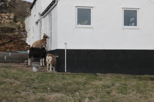 Holyhead - goats