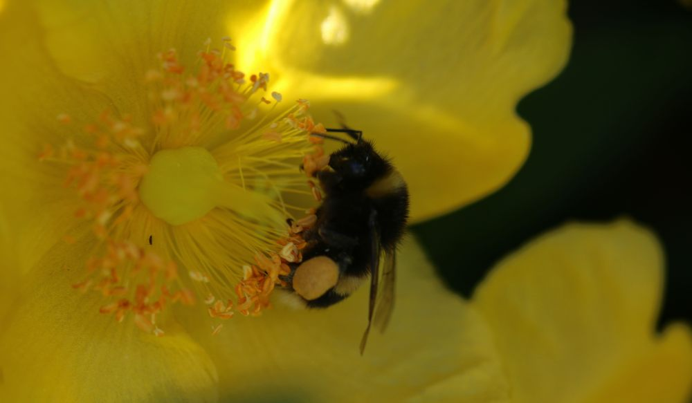 bumble bee on a yellow flower macro photo