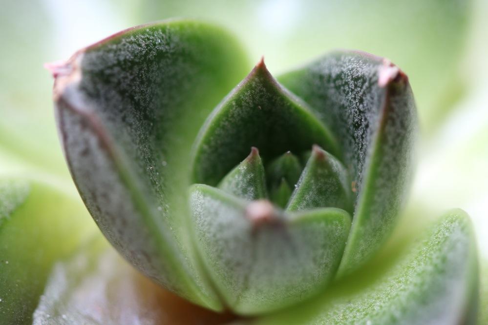 Succulent plant macro photo