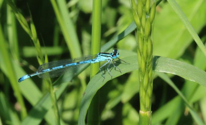Blue damselfly insect macro photo
