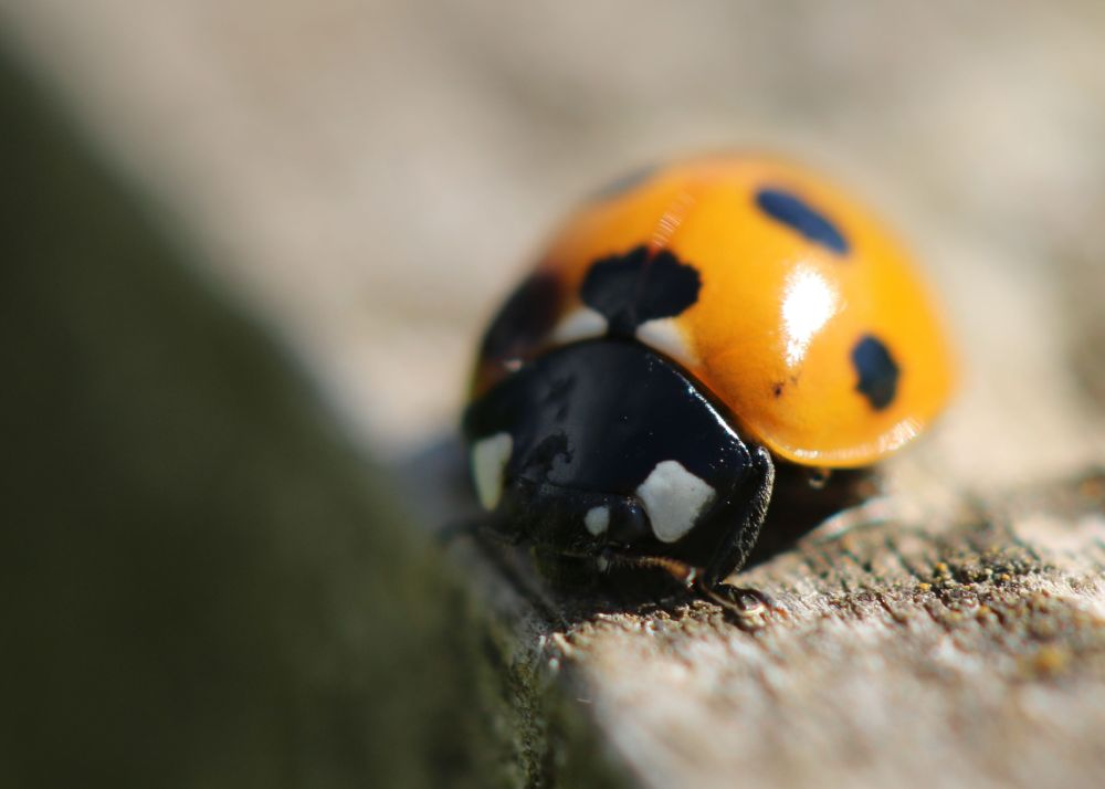 Ladybird macro photo insect