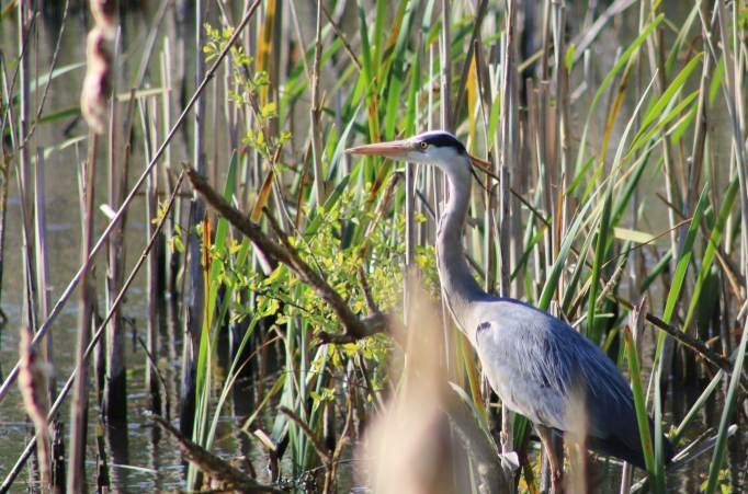 Heron in Etruria, Stoke on Trent