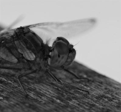 Dragonfly Stoke on Trent macro