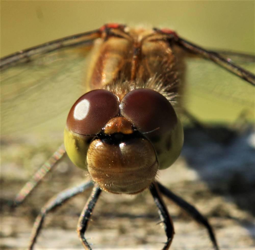 Dragonfly head macro