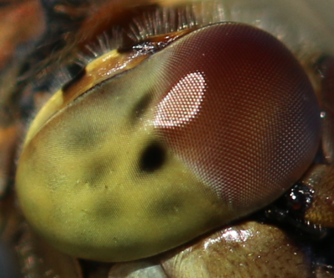 magnified eye of a dragonfly