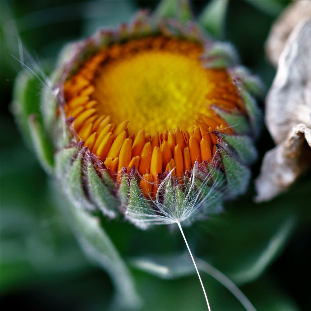 Calendula macro photography flowers