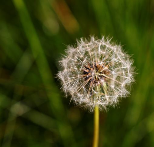 Dandelion macro photography flowers