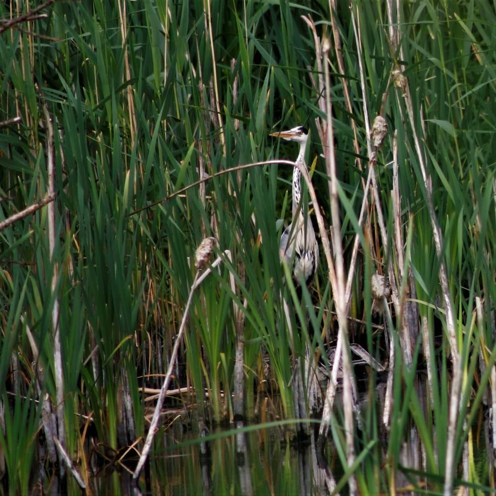 Stoke, heron, reed