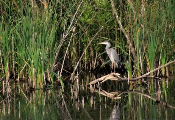 Sunbathing heron