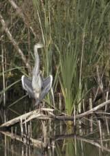 Sunbathing heron II