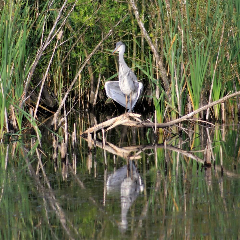 heron bird watching Stoke sunny