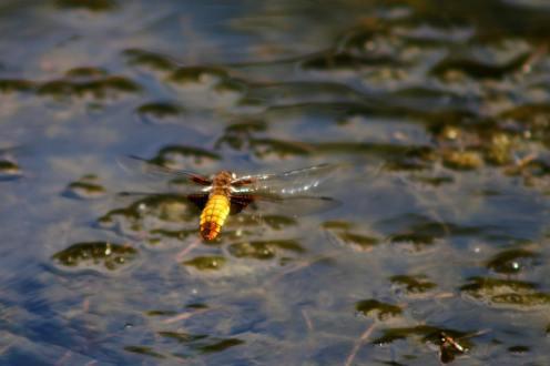 golden dragonfly Etruria Stoke on Trent