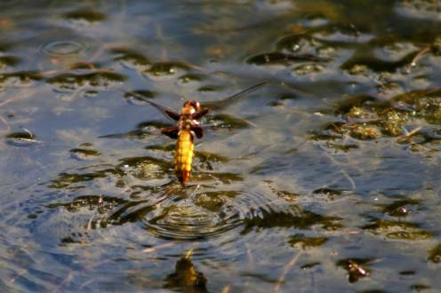 A dragonfly dipping into water