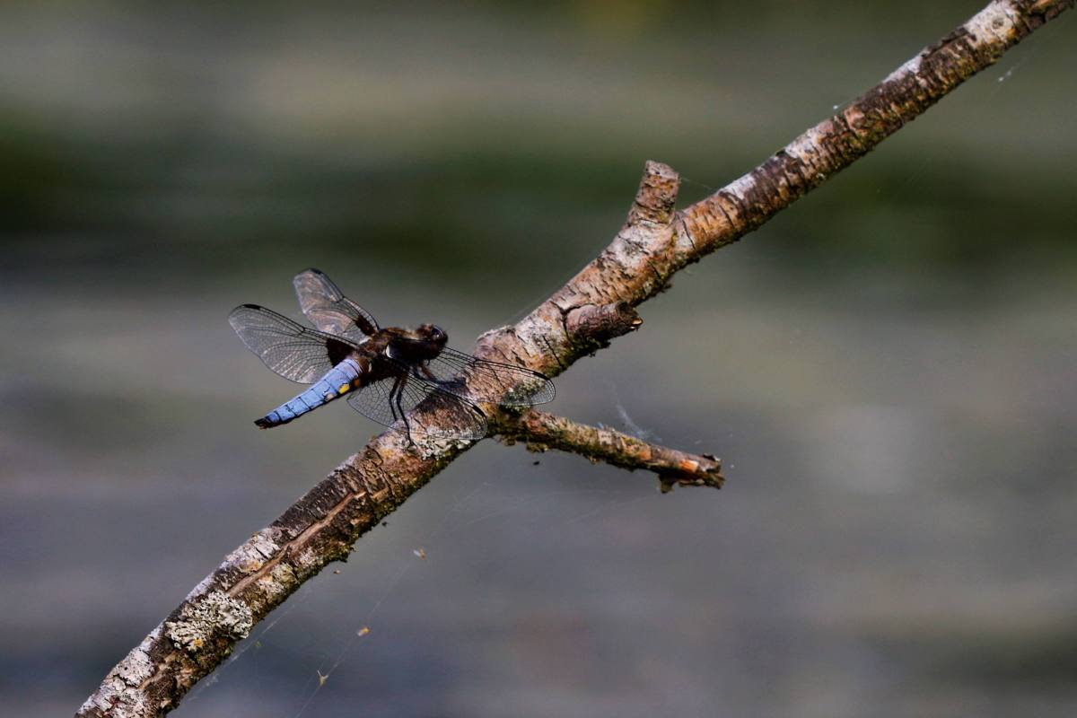 Photographing flying gems: golden and blue dragonflies