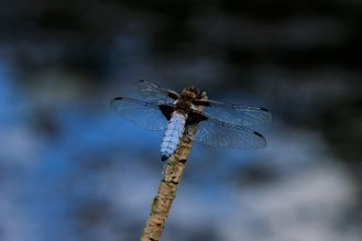 Blue dragonfly in Etruria, Stoke on Trent