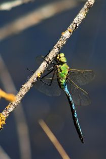 Blue and green dragonfly macro photo