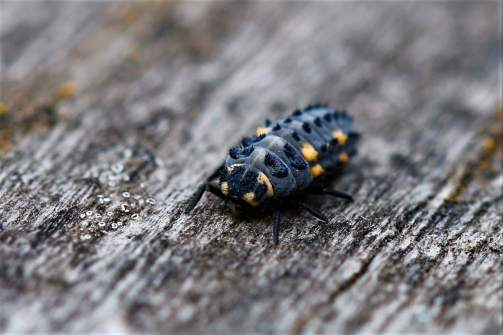 black beetle with hair yellow spots