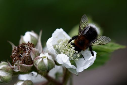 Macro photo of a bumble bee on a white bloom